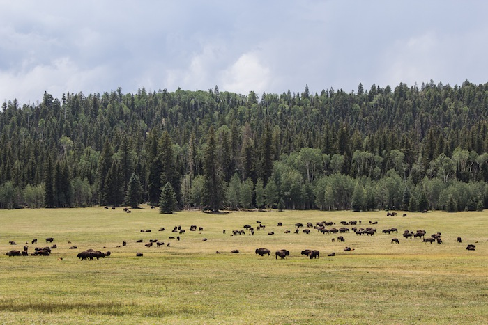 Bisons, USA