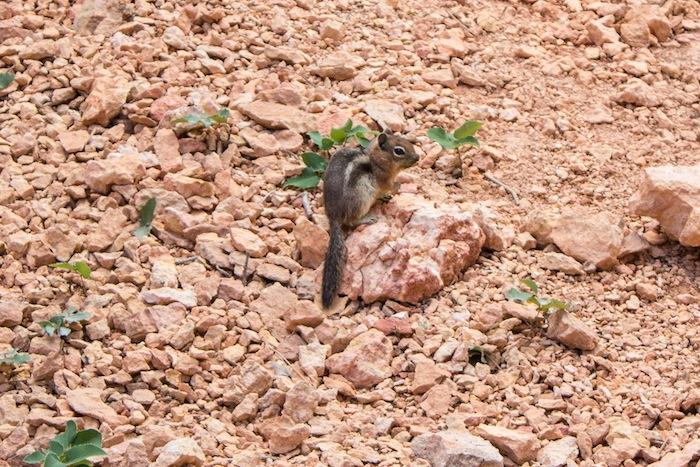 un écureuil à Bryce