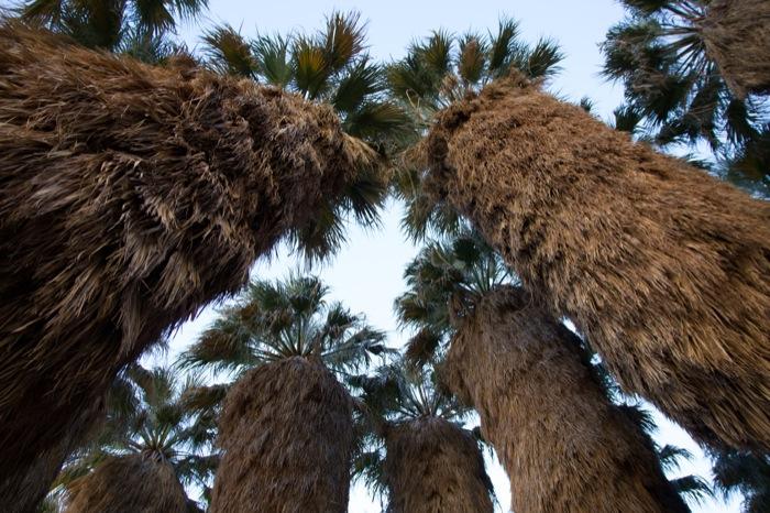 palmiers de californie