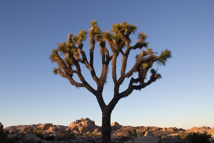 arbré de Josué à Joshua Tree National Park