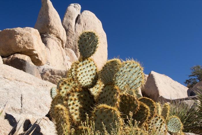 un joli specimen de cactus californien