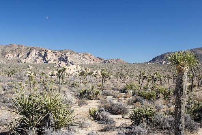 vue classique et poétique du parc national de Joshua Tree aux Etats-Unis : une vallée couverte de Joshua Trees, ici surplombée par la lune en plein jour