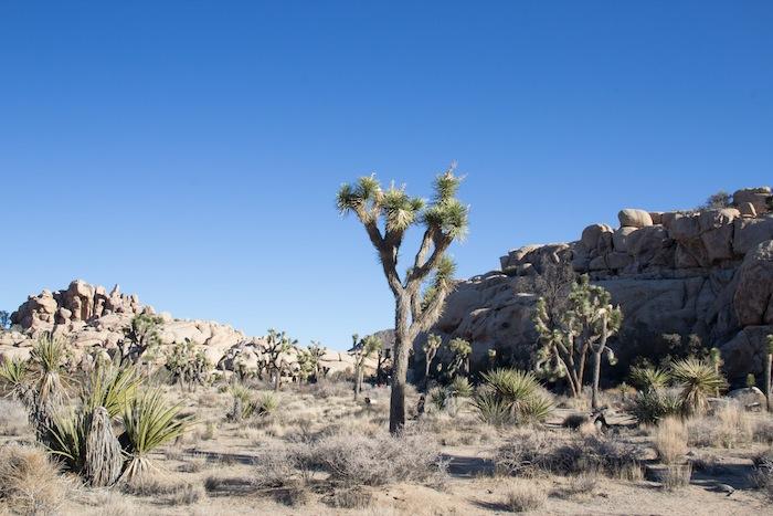 un autre Joshua Tree, ce drôle d'arbre-yucca