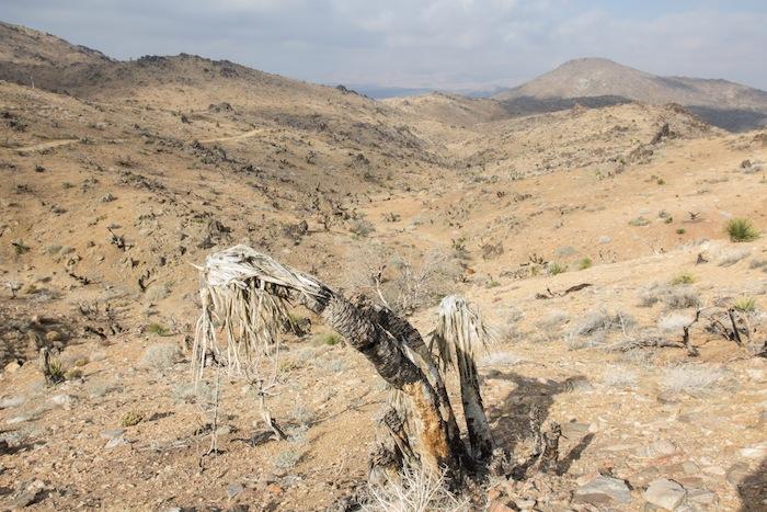 un Joshua Tree mort