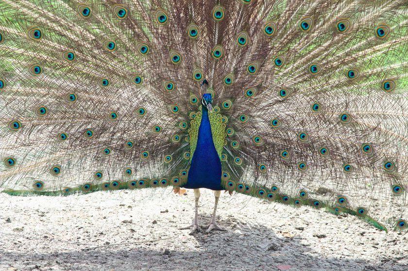 Paon au marais des oiseaux