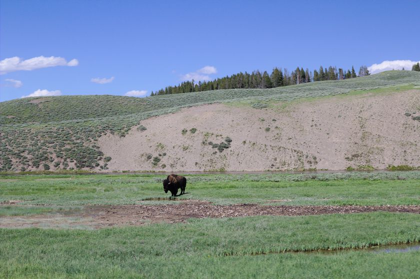 Bison à Yellowstone